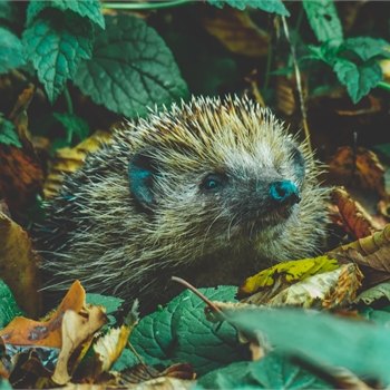 Hedgehog In the Woods